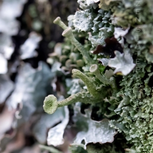 Cladonia gracilis – Black Foot Cladonia
