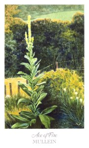 Herbcrafter's Tarot - Ace of Fire - Mullein