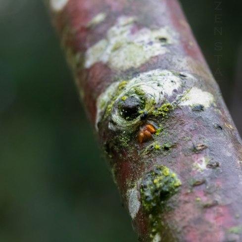 Alder Branch Nodule or Node