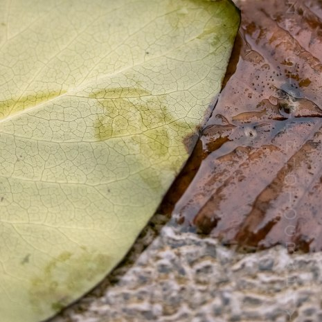Wet Fall Leaves - Leaf Veins