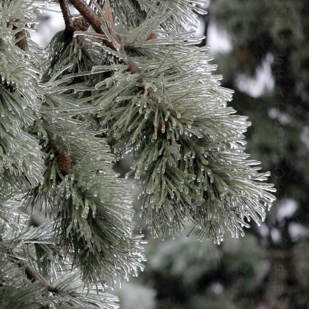 Conifer Ice