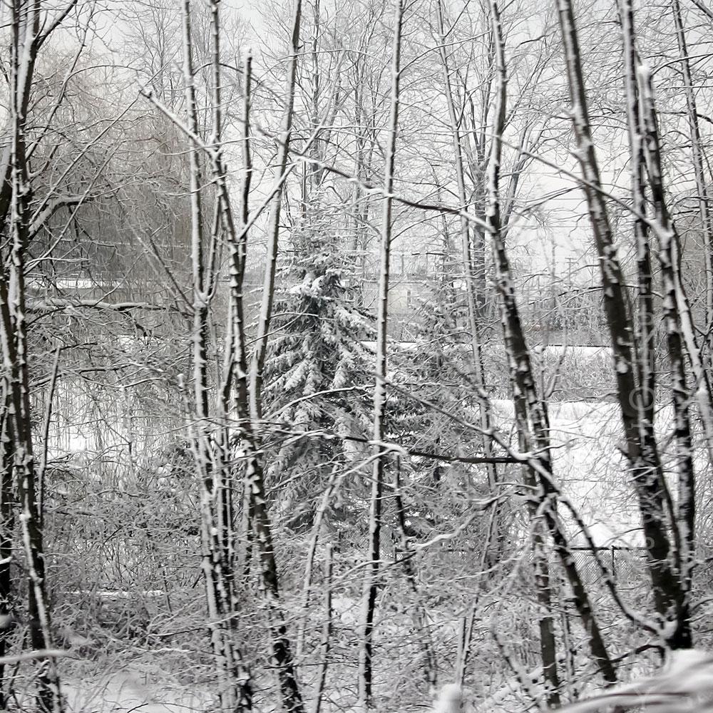 Evergreen Among the Birch