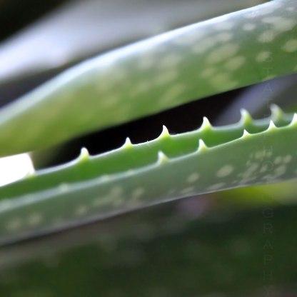 Aloe Vera Teeth