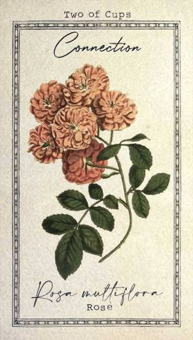 The Alchemist's Garden Tarot - Two of Cups - Rosa multiflora - Rose - Connection